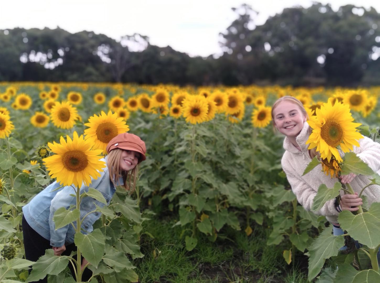Sunflower Picking Dunnstown